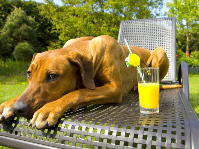 Picture of lazy dog on patio lounger with lemonade